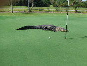 alligator-guarding-golf-ball-myakka-florida